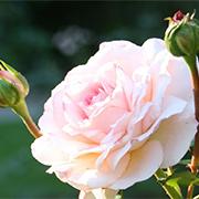 Rose_am_Weg_thump